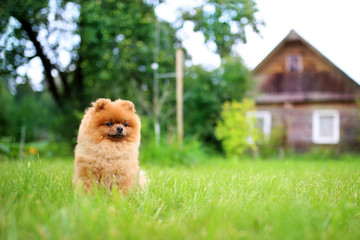 Pomeranian dog on a walk. Dog outdoor. Beautiful dog. Dog out of town