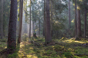 Fototapete - Sunbeam entering coniferous stand of Bialowieza Forest