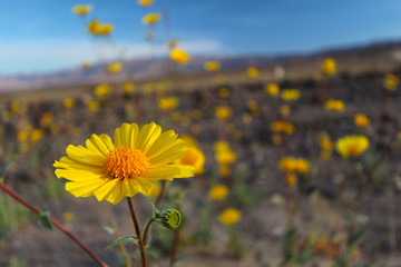 Super bloom of desert sunflower, Death Valley National Park, California, 2016