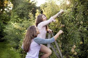 Female friends picking pears in orchard
