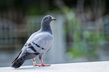 close up full body of pigeons bird standing