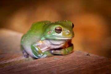 Green Tree Frog Queenland Australia