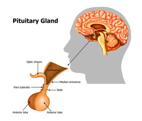 Illustration of pituitary-gland