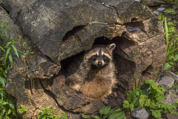 Raccoon hiding in a hollow stump  Funny image with a cute raccoon in a hollow stump. Picture taken in the WIld Park from Pforzheim, Germany.