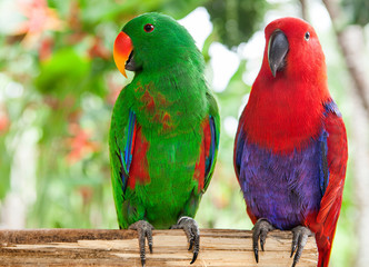 pair of Solomon Island Eclectus Parrots