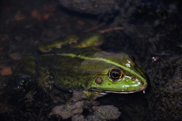 Frog. Green river dweller . Eyes. Toad in water