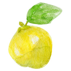 Hand drawn watercolor quince or lemon on white background.
