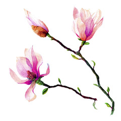 branches of pink magnolia isolated on a white background