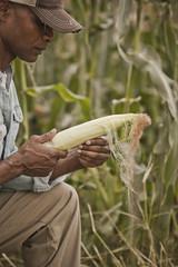 African American farmer tending corn crop