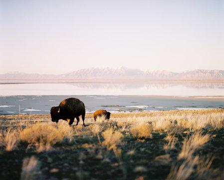 Buffalo grazing, Antelope Island, utah, America, USA