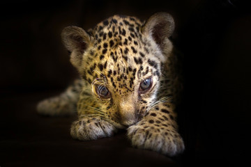Beautiful jaguar baby on a black background