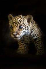 Jaguar cub on a black background