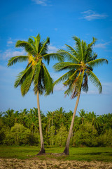 Coconut palm trees on blue sky with cloud background.