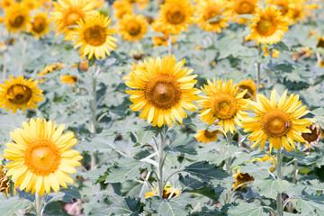 sunflower at nagai park,osaka,japan