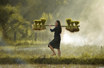Woman carrying rice plants in paddy field, Sakolnakh, Thailand