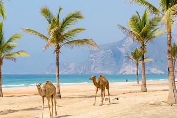 Camels walking along the beach,  Oman