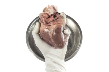 Heart organ in hand with rubber glove isolated white background