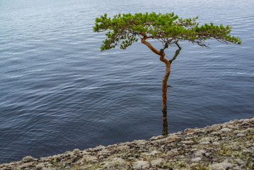 Bent pine tree on cliff near water