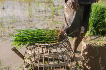 Rice farmers in rice field