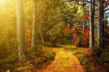 A walk in the autumn woods. Sunshine. Sunset.  Golden autumn. The colorful trees. Wildlife of Estonia.