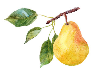 the fruit of pear on the tree branch watercolor on the white background