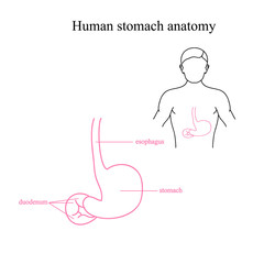 The anatomy of the human stomach. Location of the stomach in a human body. Stomach and esophagus.