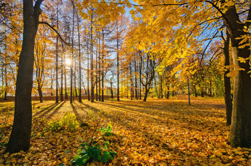 Golden foliage in the autumn park