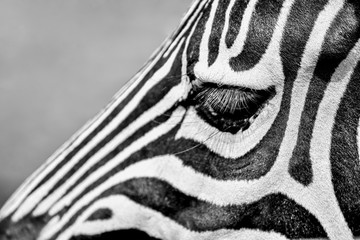 Close-Up Shot of Zebra's Eyes