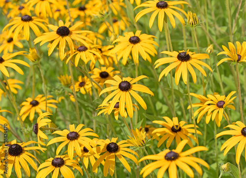 gelber sonnenhut rudbeckia imagens e fotos de stock royalty free no imagem. Black Bedroom Furniture Sets. Home Design Ideas