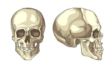 Illustration of anatomical skull