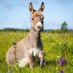 Foto op Plexiglas Ezel Grey donkey