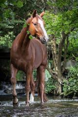 Pferd steht in einem Fluss