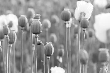 Field Poppy Head. Black and White Photo.