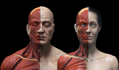 Human anatomy background , medical reference image , muscle anatomy of the face neck chest and shoulder ,realistic 3D rendering