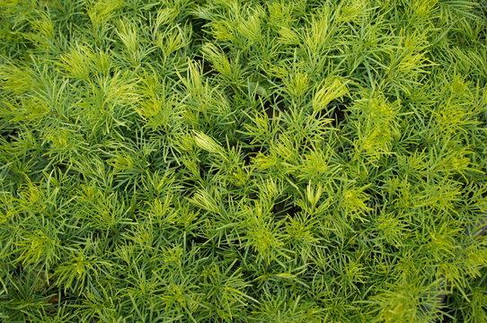 Oldman wormwood or Artemisia abrotanum green plant