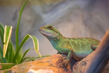 Asian water dragon in the wild
