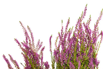 Heather isolated on white background.