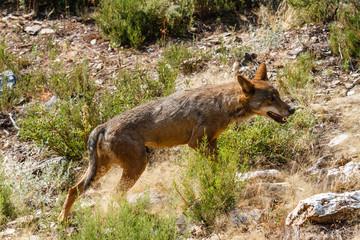 Canis lupus signatus. Lobo Ibérico.