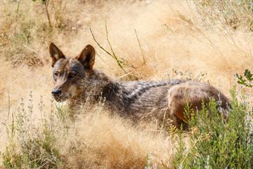 Canis lupus signatus. Lobo Ibérico tumbado.