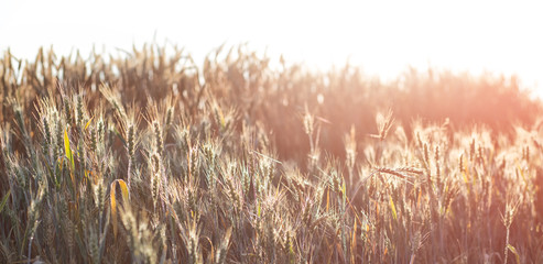 Wheat field on the background of the setting sun. soft light effect