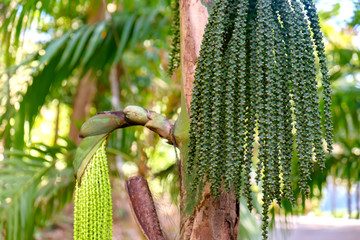 Betel palm or Betel nut or Areca catechu green raw in bunch. Betel leaves are used in folk medicine of Asian countries as an aphrodisiac, analgesic and antiseptic. Botanical photography.