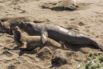 Elephant seal mating and raping mother seal next to baby close to San Simeon, California