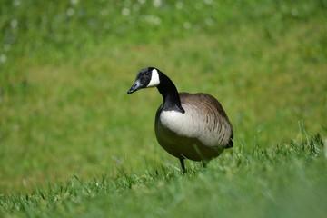 goose alerting
