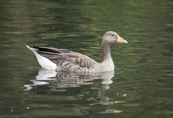 Grey Lag Goose on a lake