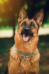 German Shepherd is sitting in park with dog-collar.