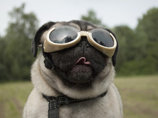 Door stickers Dog Blije hond, mopshond, met hondenbril