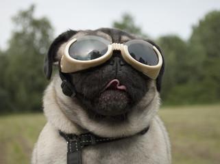 Photo Blinds Dog Blije hond, mopshond, met hondenbril
