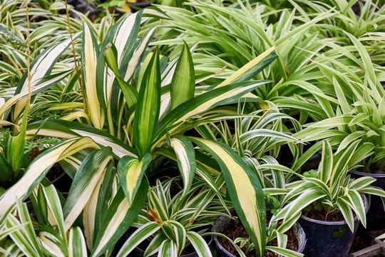 spider plant leaves