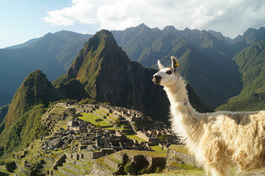 a llama and on the background the ruins of Machu Picchu, Perú