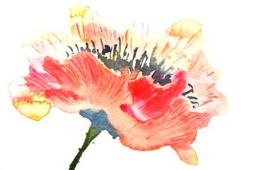 Beautiful red poppy, watercolor illustrator